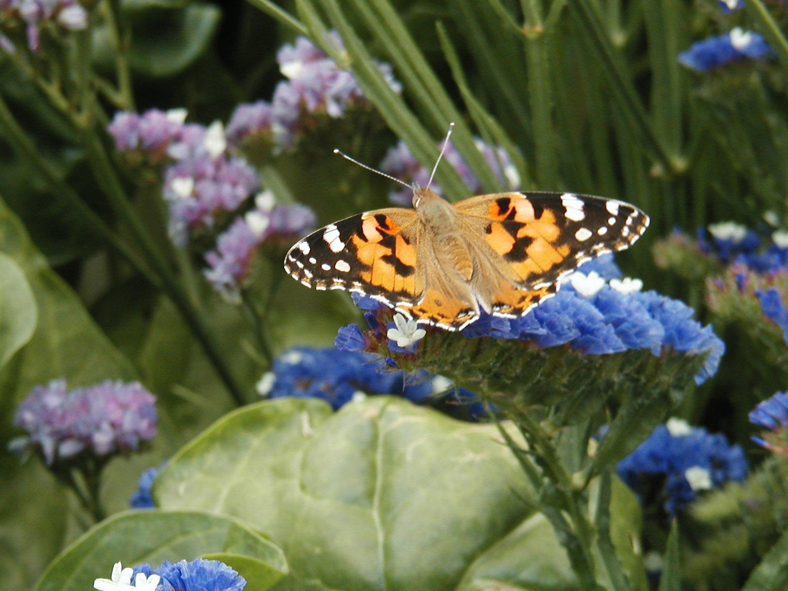 papillonbelledame72.jpg